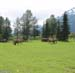 Some Elk At A Big Game Park